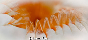 Feather duster worms by Leena Roy 